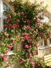 Blumenpracht im Naturerlebnisgarten Waldsassen Rosen Gold Schwertlilien